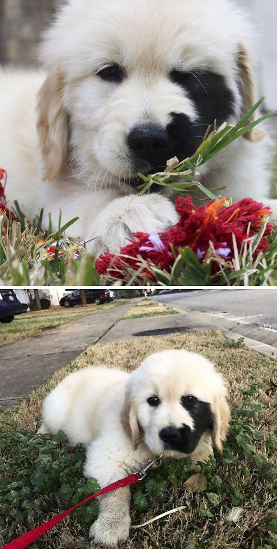 štěně zlatého retrívra štěňata puppy puppies golden retriever 4