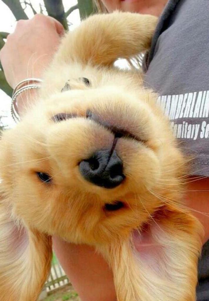 štěně zlatého retrívra štěňata puppy puppies golden retriever 6