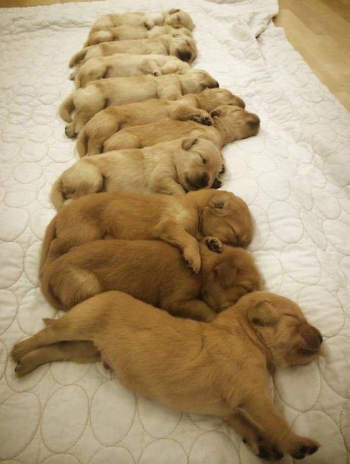 štěně zlatého retrívra štěňata puppy puppies golden retriever 7