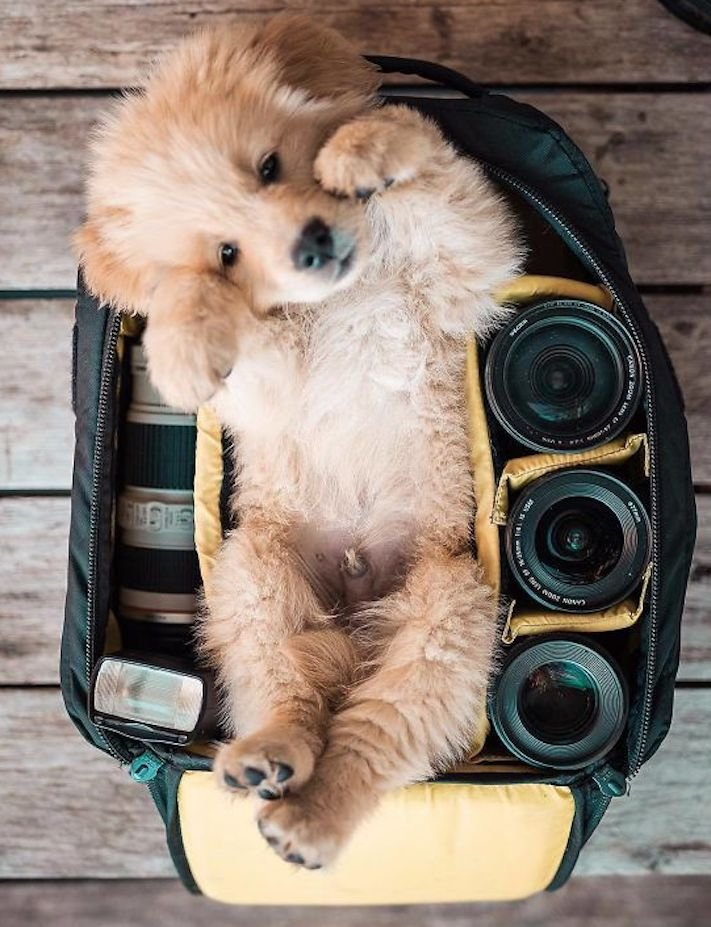 štěně zlatého retrívra štěňata puppy puppies golden retriever 8