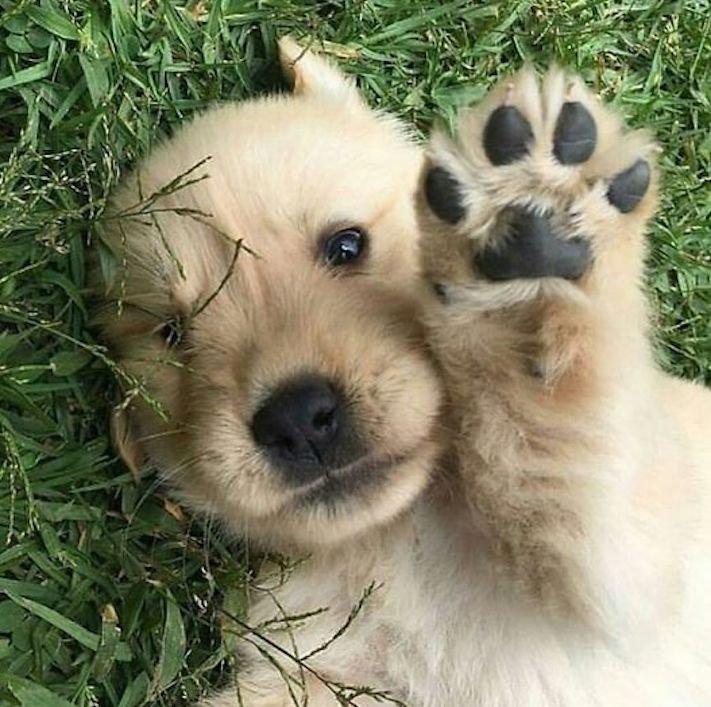 štěně zlatého retrívra štěňata puppy puppies golden retriever 9