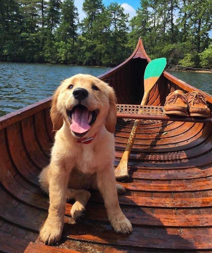štěně zlatého retrívra štěňata puppy puppies golden retriever 11