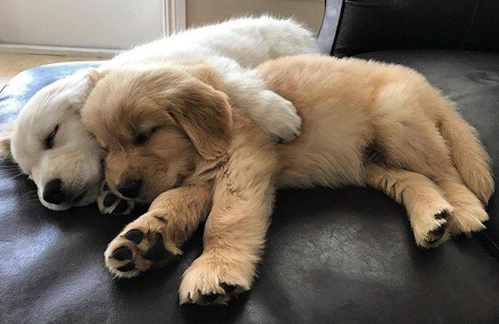 štěně zlatého retrívra štěňata puppy puppies golden retriever 12