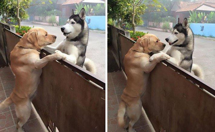 žlutý zlatý labrador labradorský retrívr pravé přátelství mezi psi se psem nejlepší psí příběh 2