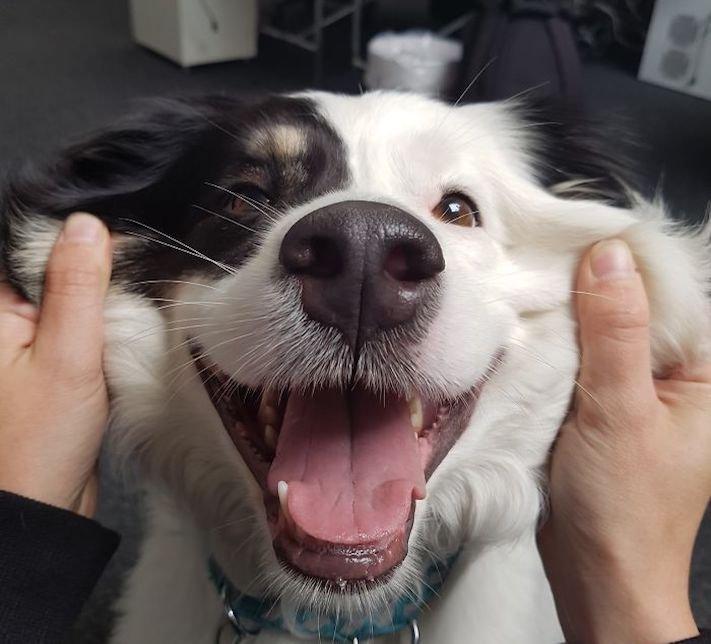 směje se pes psí úsměv u psa