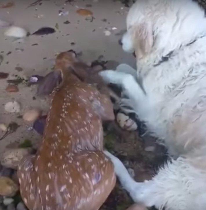 záchrana jelena pes přinesl zachránil jelena kouška koloušek z vody moře 3