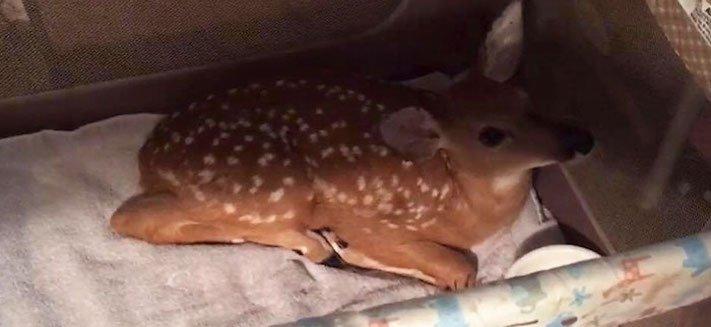 záchrana jelena pes přinesl zachránil jelena kouška koloušek z vody moře 4