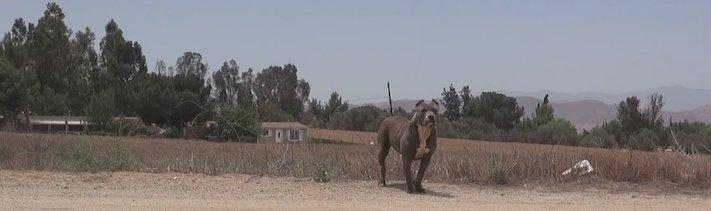 vystrašený pes pitbul bez majitele agresivní fenka hledala pouze novou rodinu adopce psů psa pomoc 1a