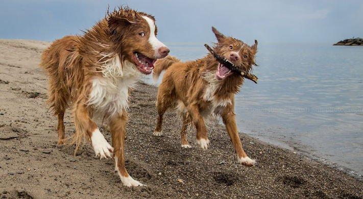 pes plemeno psa nova scotia duck tolling retrívr psí příběhy fotografie obrázky fotky