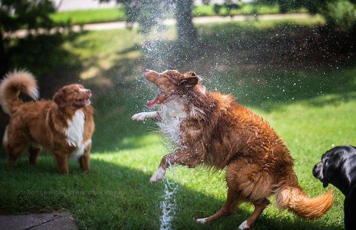 pes plemeno psa nova scotia duck tolling retrívr psí příběhy fotografie obrázky fotky 3
