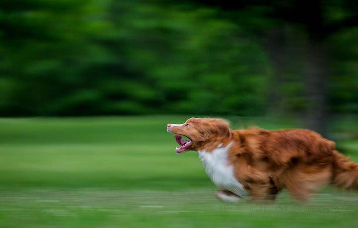 pes plemeno psa nova scotia duck tolling retrívr psí příběhy fotografie obrázky fotky 7