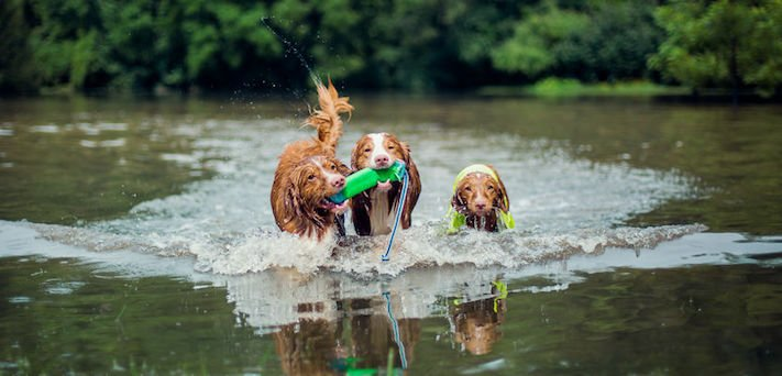 pes plemeno psa nova scotia duck tolling retrívr psí příběhy fotografie obrázky fotky 8