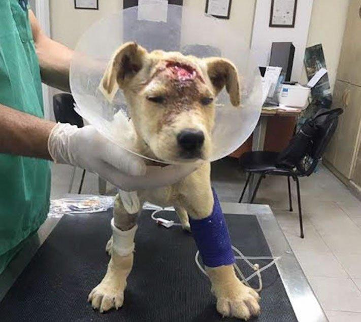 štěně z ulice bez domova střelené do hlavy adopce psů 5