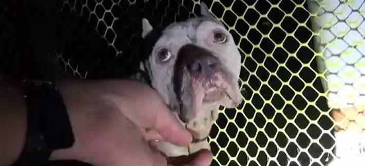 záchranná akce pitbula psů psa psi pes štěňata video o psech 1