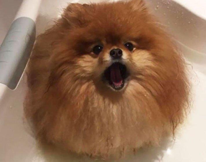 pomeranian německý špic trpasličí se rozpouští ve vodě plemeno psa obrázky psů 2