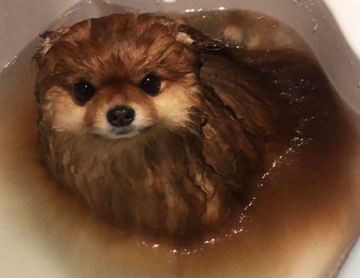 pomeranian německý špic trpasličí se rozpouští ve vodě plemeno psa obrázky psů 4