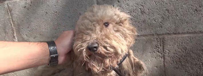 fena pudla záchranná akce zvířat pomoc psům na ulicích psi v útulku 1