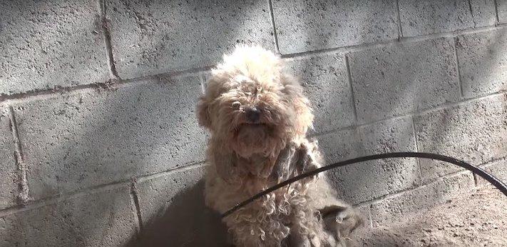 fena pudla záchranná akce zvířat pomoc psům na ulicích psi v útulku 1a