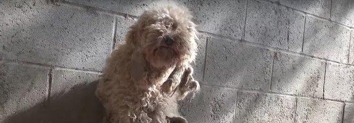 fena pudla záchranná akce zvířat pomoc psům na ulicích psi v útulku 2
