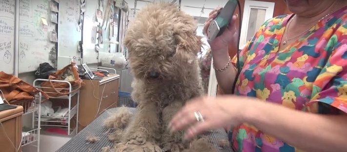 fena pudla záchranná akce zvířat pomoc psům na ulicích psi v útulku 3