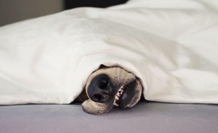 psí zábavné vtipné obrázky psů nejlepší fotografie po probuzení postel 11