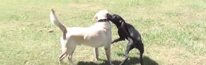 záchrana štěněte německé dogy labradora prašivina příběhy o psech 5