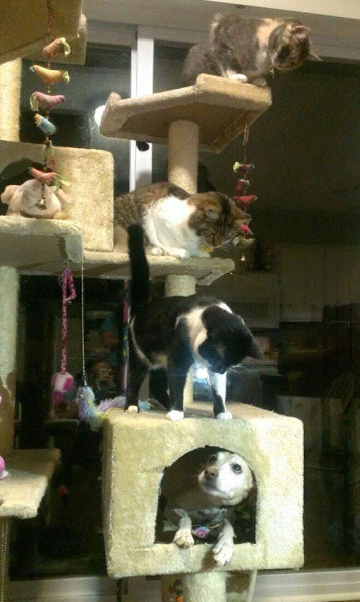 Pes se chová jako kočka vtipné srandovní zábavné obrázky psů štěňat s kočkami 4