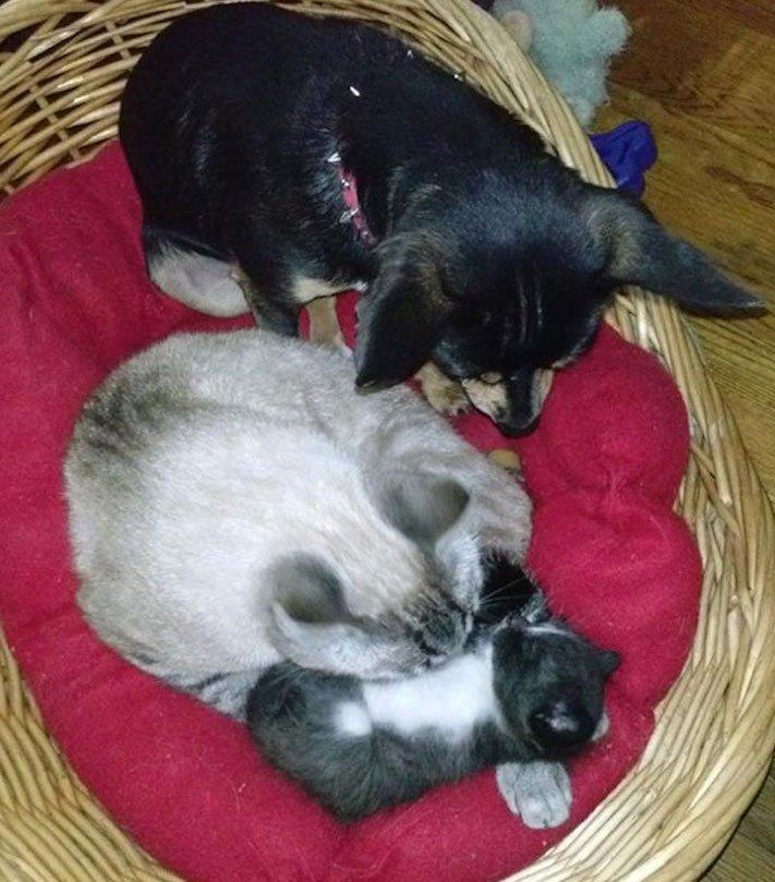 Pes se chová jako kočka vtipné srandovní zábavné obrázky psů štěňat s kočkami 18