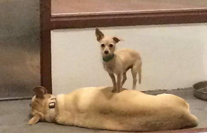 pes a fenka přátelství bonnie a clyde pes na zádech hřbetě hřbetu jiného psa nerozdělitlní přátelé v útulku 3