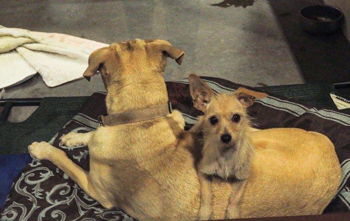 pes a fenka přátelství bonnie a clyde pes na zádech hřbetě hřbetu jiného psa nerozdělitlní přátelé v útulku 4