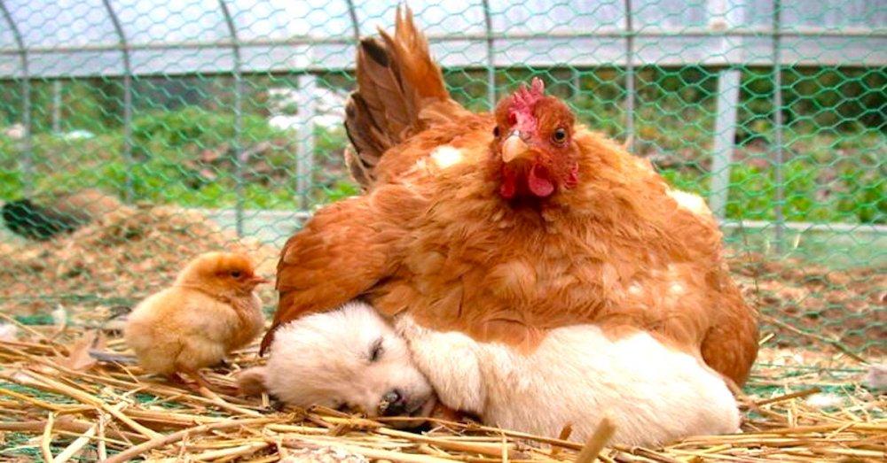 štěňata psi adoptují jiná zvířata nejlepší roztomilé obrázky psů starajících se o jiná mláďata zvířat