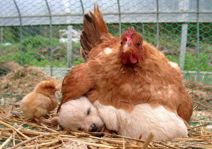 štěňata psi adoptují jiná zvířata nejlepší roztomilé obrázky psů starajících se o jiná mláďata zvířat 1
