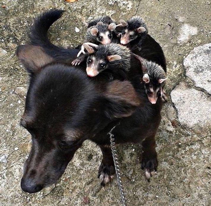 štěňata psi adoptují jiná zvířata nejlepší roztomilé obrázky psů starajících se o jiná mláďata zvířat 6