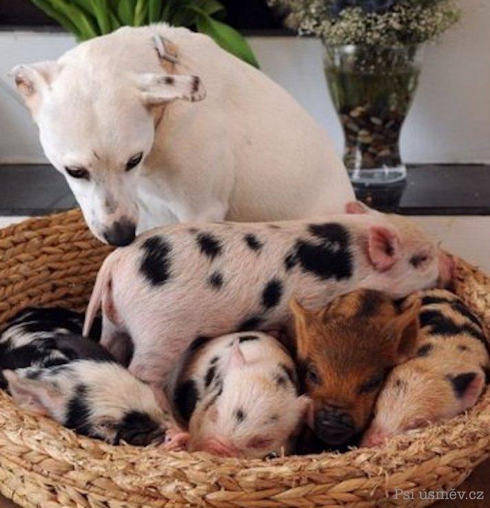 štěňata psi adoptují jiná zvířata nejlepší roztomilé obrázky psů starajících se o jiná mláďata zvířat 7
