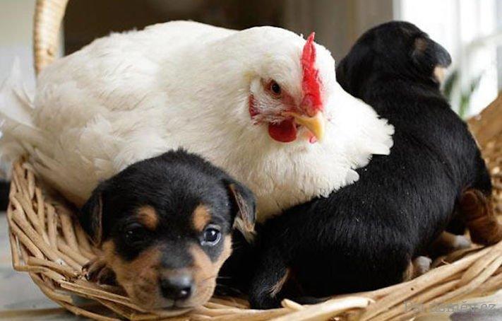 štěňata psi adoptují jiná zvířata nejlepší roztomilé obrázky psů starajících se o jiná mláďata zvířat 8