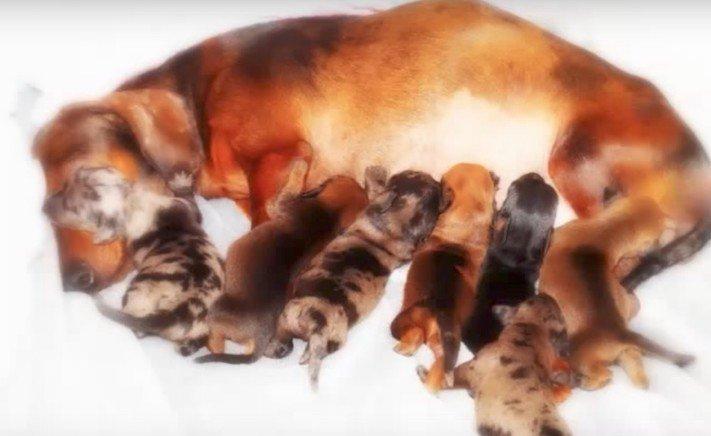 ochrnutá těhotná fenka jezevčíka příbeh psa psí příbehy 3