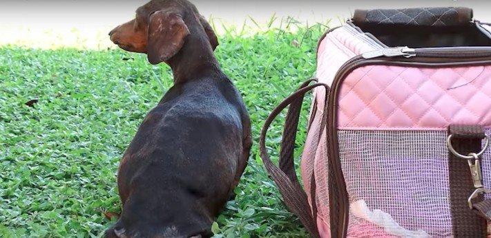 ochrnutá těhotná fenka jezevčíka příbeh psa psí příbehy 1