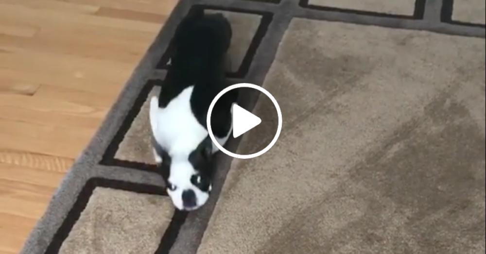 suchozemský žralok pes jezdí na po koberci koberec