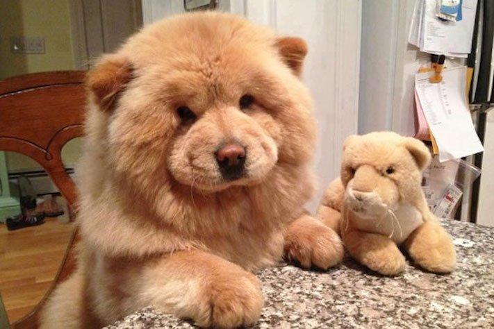 nejroztomilejší štěňata nejlepší obrázky se štěňaty štěňě vypadá jako medvěd fotoalbum 1
