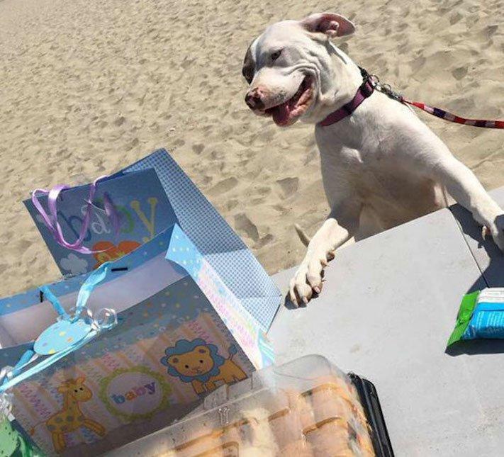 psí těhotenský večírek pro psa fenku fena pitbula pitbul pitbulteriér