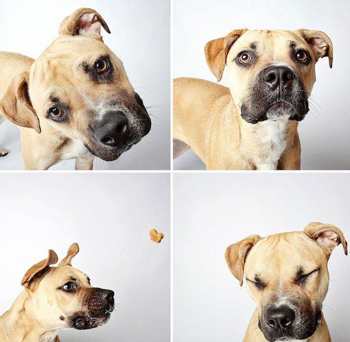fotografie obrázky psů pitbulů z útulku pro adopci 4