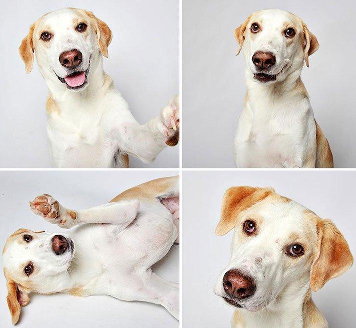 fotografie obrázky psů pitbulů z útulku pro adopci 7