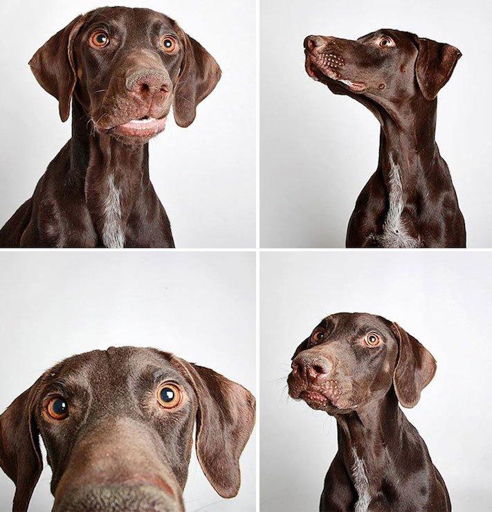 fotografie obrázky psů pitbulů z útulku pro adopci 8