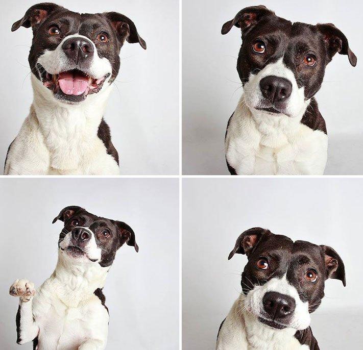 fotografie obrázky psů pitbulů z útulku pro adopci 10