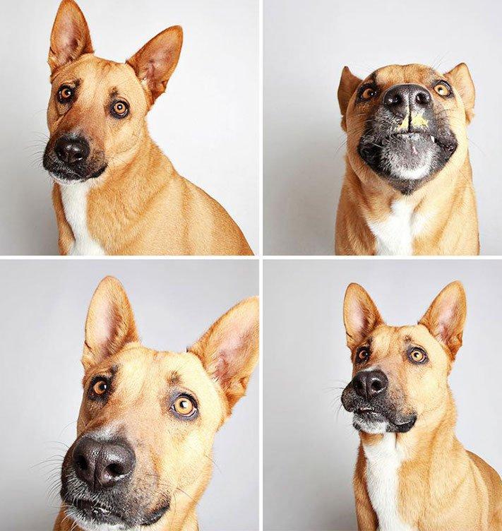 fotografie obrázky psů pitbulů z útulku pro adopci 15