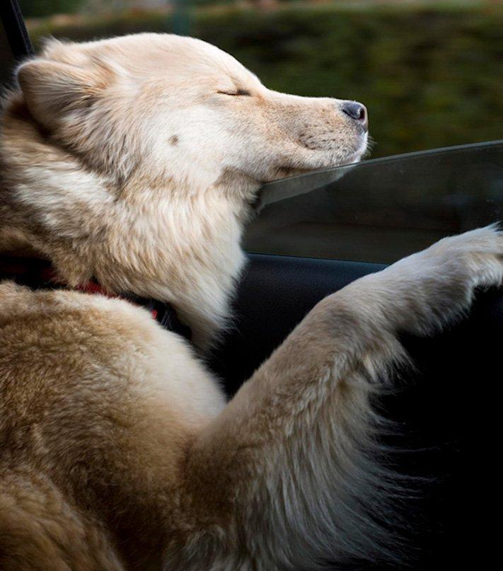pes miluje nesnáší jízdu autem k veterináři pes do auta vtipná zábavná obrázky videa 4