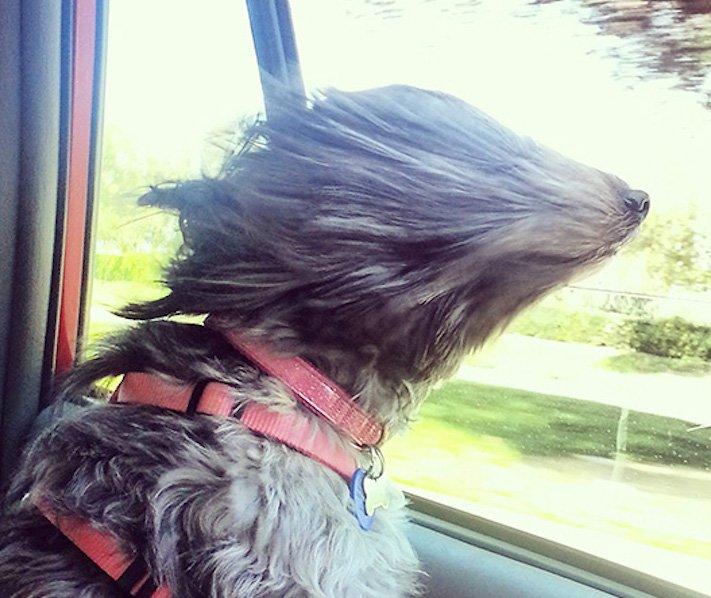 pes miluje nesnáší jízdu autem k veterináři pes do auta vtipná zábavná obrázky videa 7