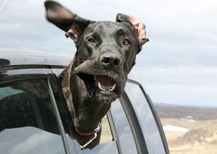 pes miluje nesnáší jízdu autem k veterináři pes do auta vtipná zábavná obrázky videa 8