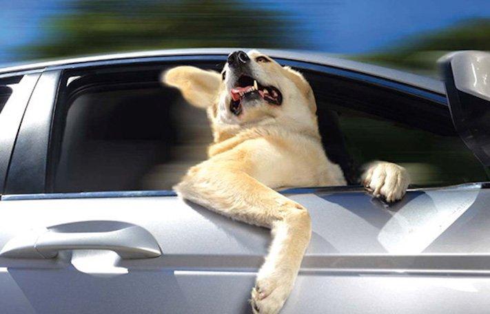pes miluje nesnáší jízdu autem k veterináři pes do auta vtipná zábavná obrázky videa 9