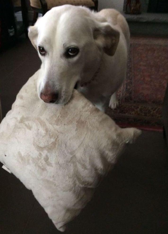 pes psi psy nosí nejneočekávanější nejméně očekávané nejvíce neočekávané dárky svým páníčkům majitelům dary dárek od psa 8